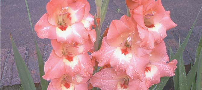 Gladioli - Gladiolus: Meaning and Significance.