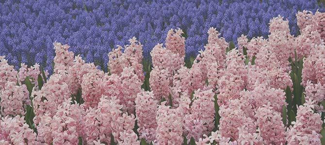 Hyacinth Funeral Flower Symbolism
