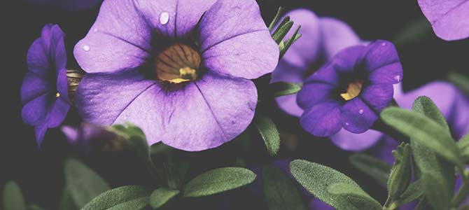 Violet Flower Meaning and Significance