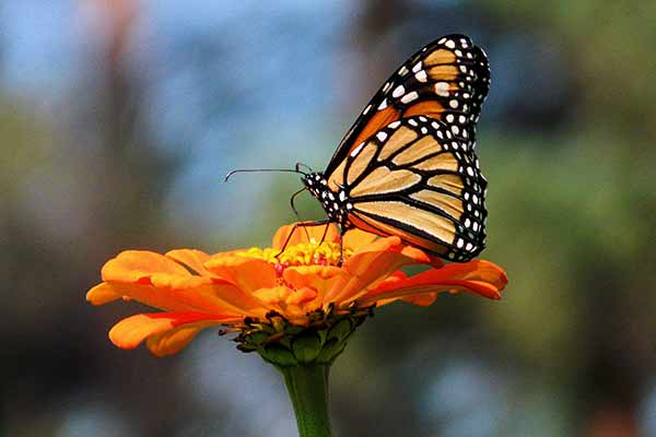 Butterflies are Beautiful