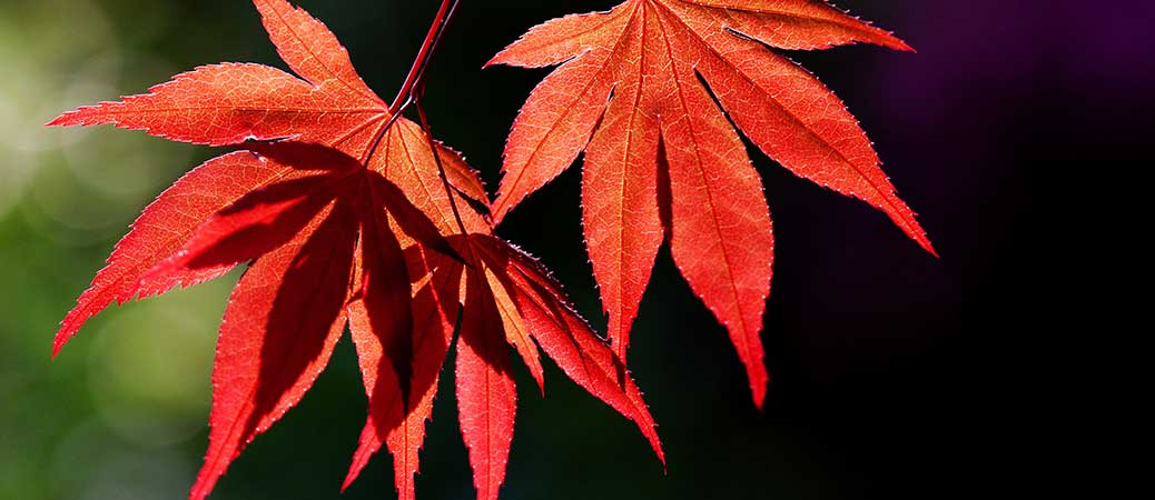 Japanese Maple by Clive James