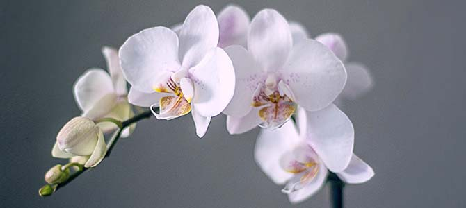 13 popular funeral flower meanings urns online orchid flower meaning symbolism mightylinksfo